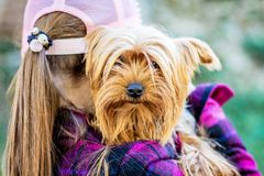 A girl wearing a cap holds a small dog breed Yorkshire Terrier. Children and Animals_. A girl wearing a cap holds a small dog breed Yorkshire Terrier. Children stock photography