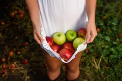 Girl with white dress and apples in orchard. Girl with white dress hold apples in orchard Royalty Free Stock Image