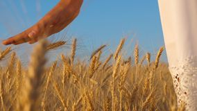 Girl in white dress goes to field of ripe wheat, hands of girl touch the mature ears of wheat, slow motion, close-up