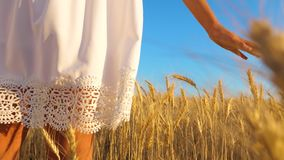 Girl in white dress goes to field of ripe wheat, hands of girl touch the mature ears of wheat, slow motion, close-up. Girl in white dress goes to field of ripe stock footage