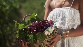 Girl in white dress holding wooden basket with grape plants at vinery. Girl in white dress holding wooden basket with red grape berries at vinery on summer sunny stock video