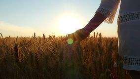 A girl in a white dress walks over a wheat field, her hand touching ripe spikelets of golden wheat during sunset. stock video footage
