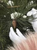 A girl in white gloves touches a pine branch with cones. Winter walk.  royalty free stock images