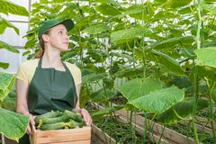 The girl is working in the greenhouse. Portrait of a worker with a crate of fresh cucumbers. royalty free stock image