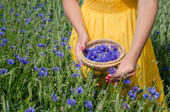Girl in yellow dress hands pick cornflower herbs Royalty Free Stock Photography