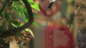 Girl in the zoo looks at the chameleon. A woman admires a chameleon who sits on a branch in the terrarium stock footage