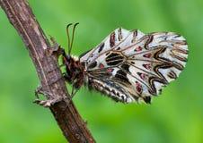 Girlande Zerynthia-polyxena Lizenzfreies Stockfoto