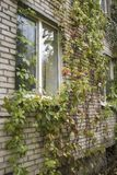 Girlish grapes Parthenocissus quinquefolia beautifully decorat. E the brick wall of the building, in the autumn cloudy day Royalty Free Stock Images