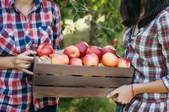 Girls with Apple in the Apple Orchard. Beautiful sisters with Organic Apple in the Orchard. Harvest Concept. Garden, teenagers eating fruits at fall harvest Stock Photography