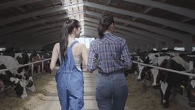 Young girls farmers making a tour of the barn with cows on the farm. Girl farmer shows the visitor cows and calves on. Girls farmers making a tour of the barn stock footage