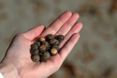 Girls hand holding acorns outdoors stock photos