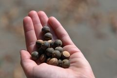 Girls hand holding acorns outdoors royalty free stock photo