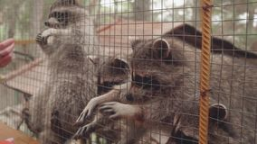 Girl`s hands feeding racoon in contact zoo stock footage