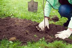 Girls hands in gloves planted a young tree in the Park on the lawn, in the background are shovels. Outdoor stock image