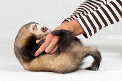 Girls hands playing with polecat. Made in studio on white background stock image
