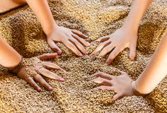 Girls Hands in The Wheat. Two pairs of young girls hands, playing and enjoy in a a bunch of grains of wheat right after the harvest Stock Image