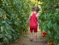 Girls picked tomatoes Royalty Free Stock Photo