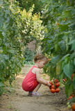 Girls picked tomatoes stock photos