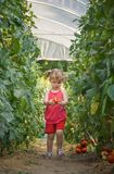 Girls picked tomatoes Stock Photography