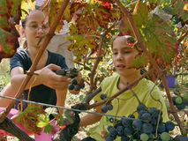 Girls are picking grapes in the vineyard Stock Photography
