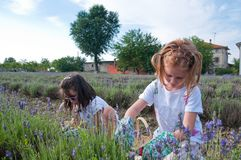 Girls picking lavender. In the field Stock Photography