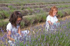 Girls picking lavender. Young girls picking lavender in the field Royalty Free Stock Photos