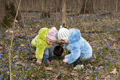 Girls are picking up bluebells. And are putting them into the basket in the spring forest Stock Images
