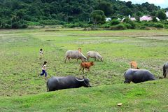 Girls at Vietnam herd oxen and cows on the grassland. Little girls in their plain daily clothes holding sticks to herd oxen and cows on a nature grassland near Royalty Free Stock Photo