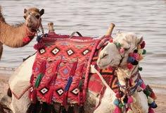 Giro del cammello Fotografie Stock Libere da Diritti