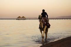 Giro del cammello Fotografia Stock