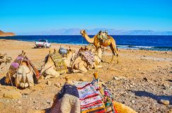 Giro del cammello lungo il golfo di Aqaba, Sinai, Egitto fotografia stock