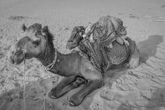 Giro del cammello nel Ragiastan, India Immagine Stock