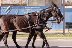 Giro del cavallo di marrone scuro due Fotografia Stock