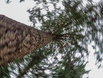 Giro encima de un árbol de pino foto de archivo