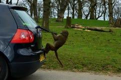 Giro pazzo dell'automobile della scimmia Fotografia Stock