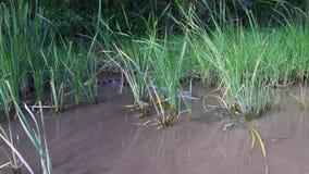 Giro selvaggio 4k Florida S.U.A. della lancia di salvataggio dell'azienda agricola dell'alligatore di giorno di estate stock footage