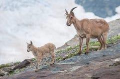 Giro, stambecco, animali, fauna selvatica, montagne, riserva, pietra immagine stock