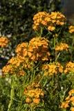 Girofl?es en fleur photo stock