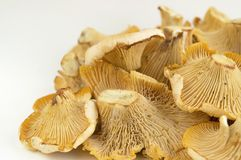 Girolle cantharellus mushrooms on white background. Closeup Royalty Free Stock Images