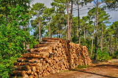 Gironde, maritime pines in La foret des Landes Stock Photos
