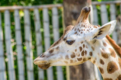 Girrafe Fotos de Stock Royalty Free