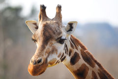 Girrafe head with neck Royalty Free Stock Photography