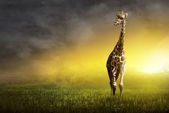 Girrafe standing on the grassland Stock Images