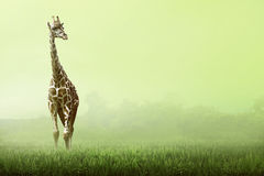 Girrafe standing on the grassland Royalty Free Stock Photography