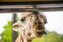 Girrafe wtyka swój jęzor out podczas gdy karmiący, w Everland, Kore Obrazy Stock