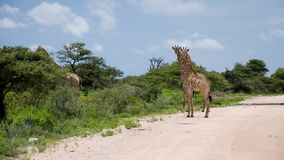 Girrafes in Etosha park, Namibia Stock Photos