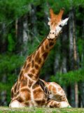 Girraffe Royalty Free Stock Photos