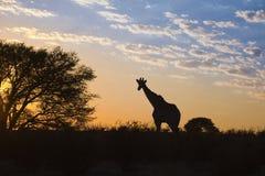 Girraffe silhouetted mot soluppgånghimmel Arkivbilder