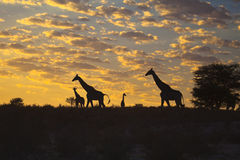 Giraffes silhouetted against sunrise. Four Giraffes silhouetted against a sunrise sky in the Kgalagadi transfrontier park, in the Kalahari Desert, South Africa Stock Photo