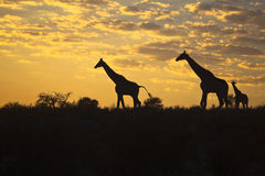 Giraffes silhouetted against sunrise sky. Three Giraffes (Giraffa camelopardalis) silhouetted against a sunrise cloudscape sky in the Kalahari desert Stock Image